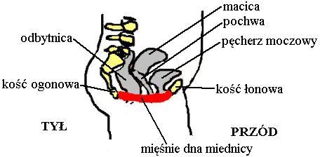 kość ogonowa, kość łonowa, coccyx, public, Kegla ćwiczenia, Kegel