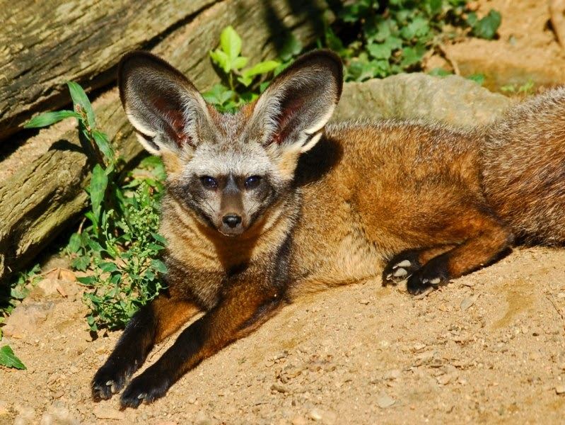 Bat eared fox - photo#3