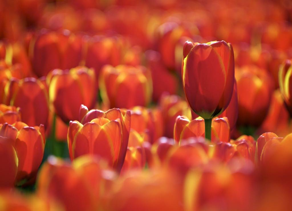 field or orange red tulips close up macro