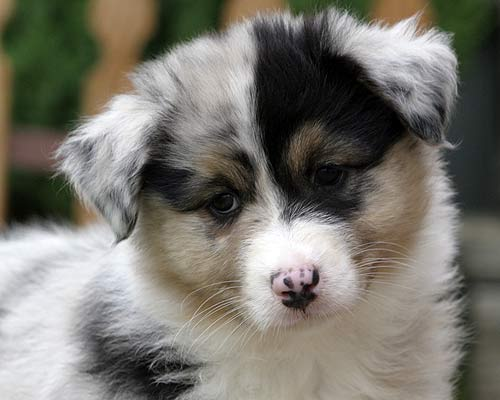 Australian Shepherd Golden Retriever Mix http://goldensretrievers1.blogspot.com/2012/04/australian-shepherd-golden-retriever_14.html