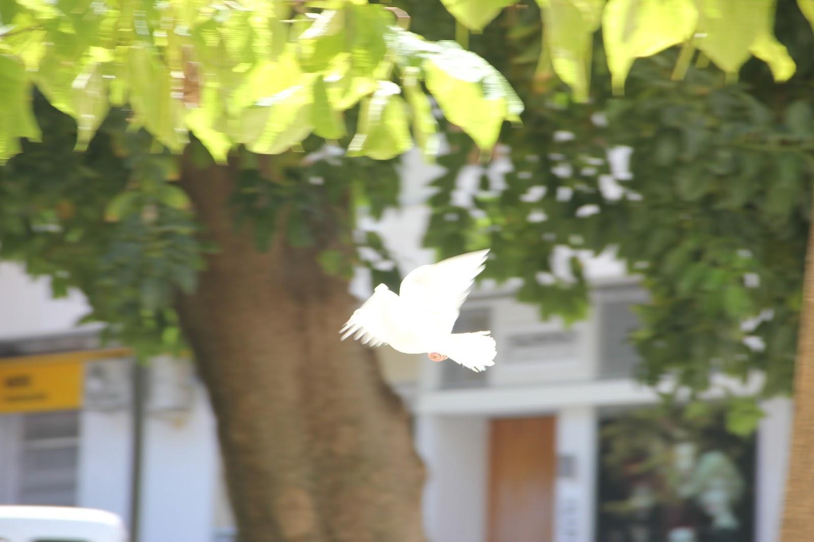 Les meues fotografies - Alis: Unas flores rosas y una paloma blanca