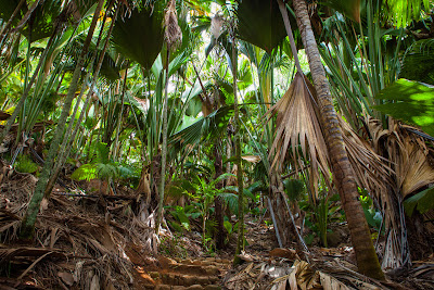 Vallée de Mai - Seychellenpalmen auf Praslin