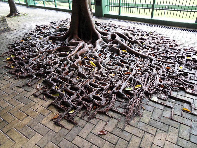 Raíces de árbol reclamando su espacio a partir del concreto
