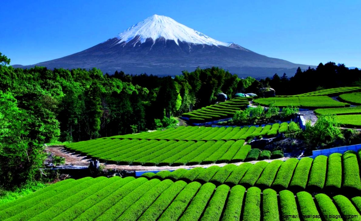 Tea Garden near Mt Fuji Japan  pics