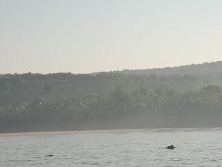Dolphins in Arabian Sea