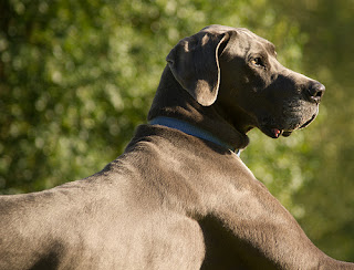 Great Danes are susceptible to bloat.