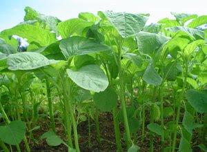 benih-bayam-hijau.jpg