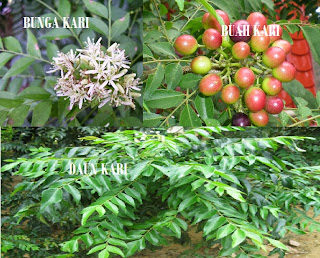 manfaat dan khasiat daun kari