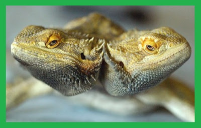 Two-headed Bearded Dragon