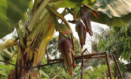 กล้วยประหลาดมี่ 3 เครือ ชาวบ้านแห่ขอหวย