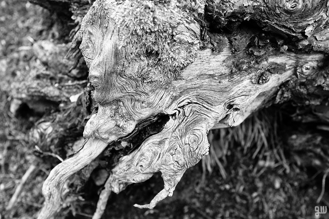 Gnarled stump - © 2015 Graeme Walker - Garden Photography, Plants, Geology, Creatures