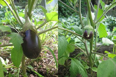 3 healthy eggplant bushes