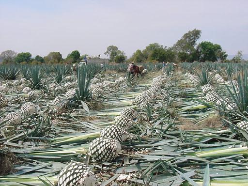 Blue Agave Tequila Plant Explorer Street...