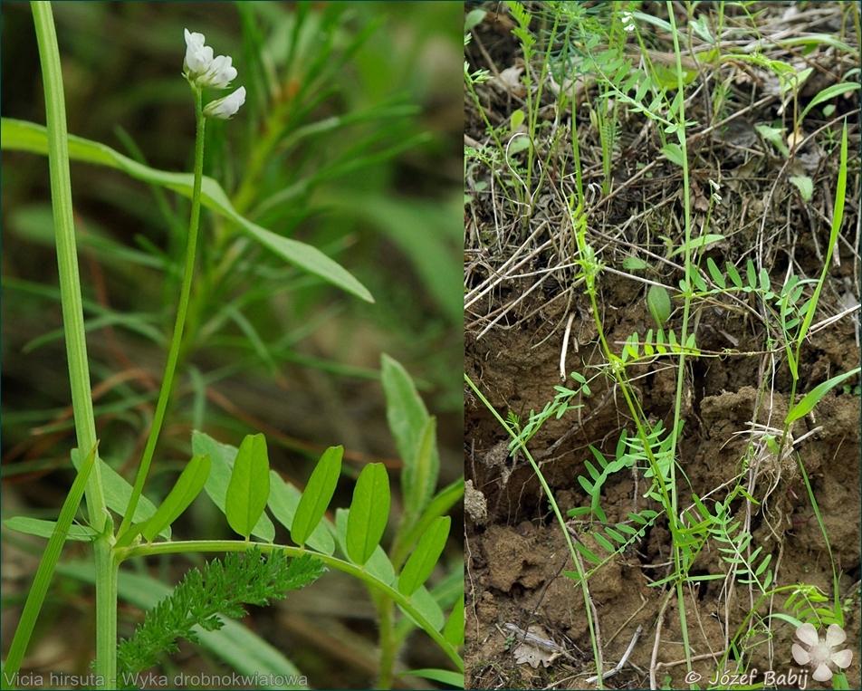 Vicia hirsuta - Wyka drobnokwiatowa