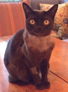 Con mèo Vanilla Bean. Ảnh: UC Davis