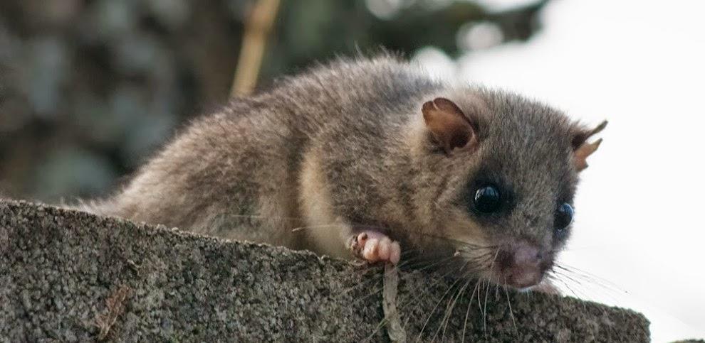 Liron gris en biologia de los ecosistemas