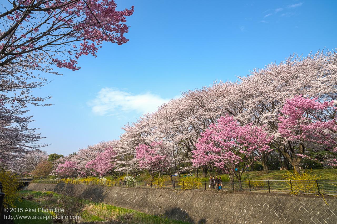 昭和記念公園の桜 その2