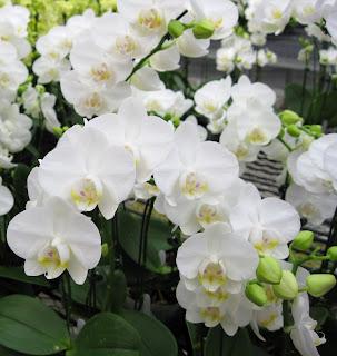 Phalaenopsis Amabilis Farmosa