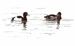 #inktober tufted ducks