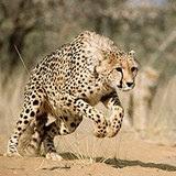 guepardo o chita