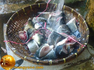 Mencuci ikan mas