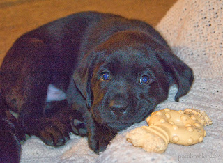 A small black Lab puppy is curled up facing the camera. His head is resting on a knitted, cream colored afghan and a yellow Nylabone toy is lying nexxt to his chin.