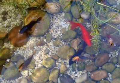 Peces en el estanque