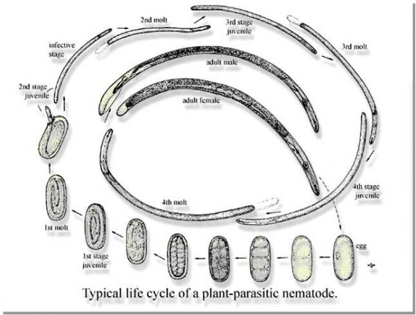 identification of plant parasitic nematodes infecting Identification of rice nematode recent evidence indicates that effectors secreted from rice-infecting nematodes can suppress plant plant-parasitic nematodes.