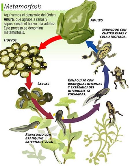 Ciclo de vida de los anfibios