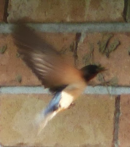 Barnie the Barn Swallow