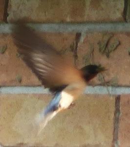 Barnie the Barn Swallow