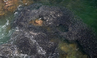 Large Swarms of Fish along the Coast of Acapulco Seen On   www.coolpicturegallery.us