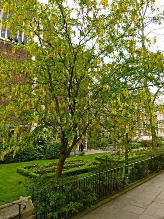 Laburnum, Middle Temple Gardens, fuchia, London