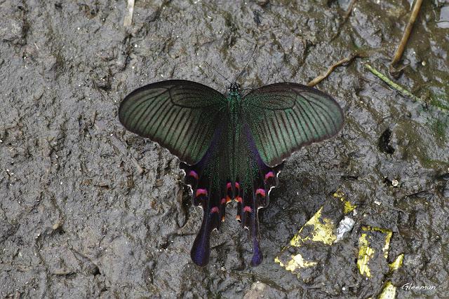雞南山散步,烏鴉鳳蝶在芒草旁的泥土上吸水。