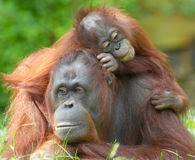 Stop Using Orangutans as Prostitutes!