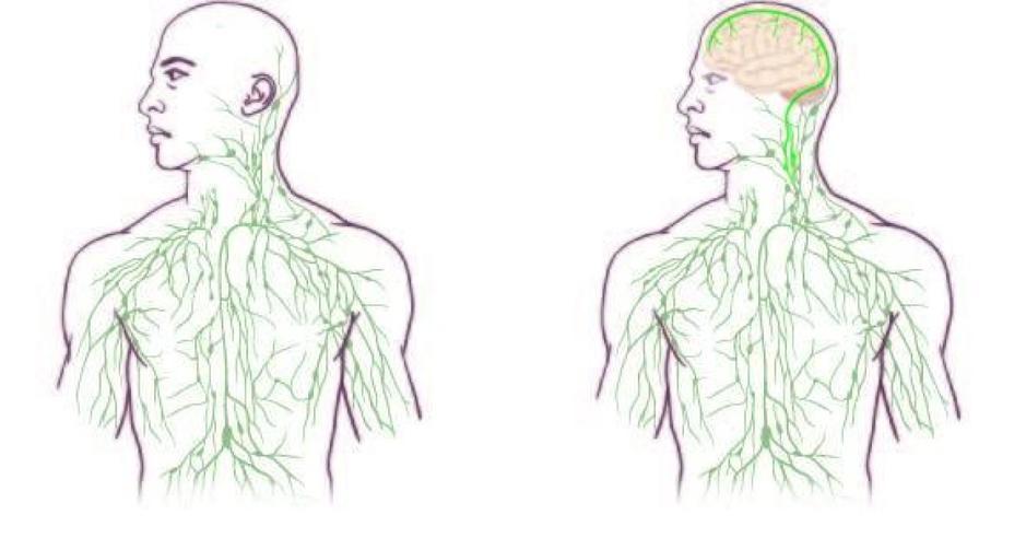 Críticos De Salud Pública: El sistema linfático también en el SNC