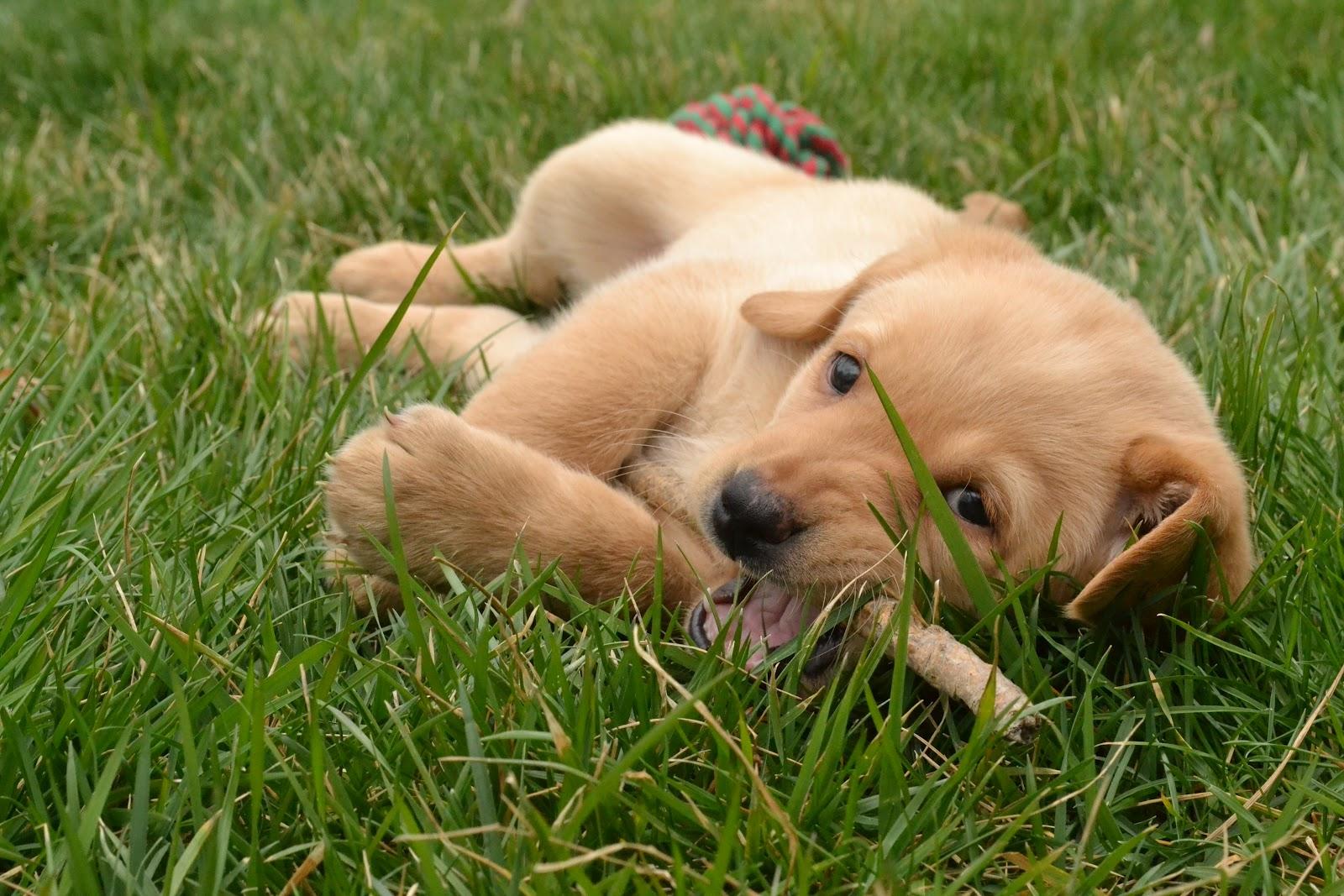 Three Pixie Lane Puppy Love
