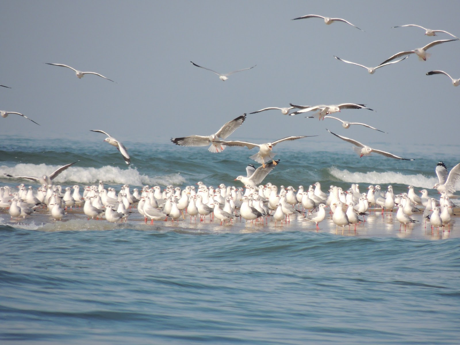 Sea Gulls at Tsunami Island
