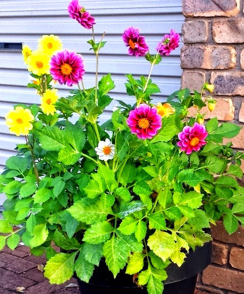 how to grow and care dahlia plant