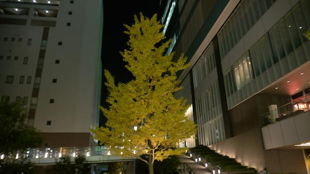 秋葉原UDX横にあるおそらく銀杏の木