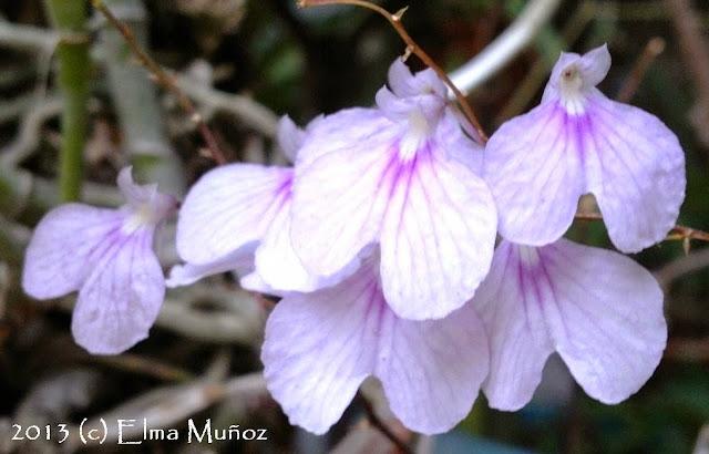 Orquidea Ionopsis utricularoides