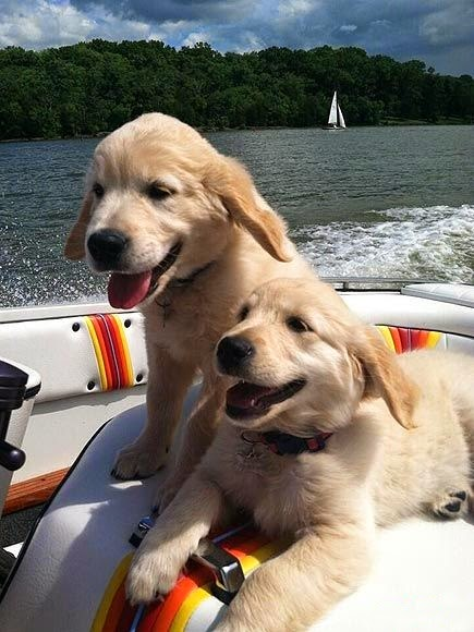 See more Two Beautiful Golden Retriever puppy http://cutepuppyanddog.blogspot.com/
