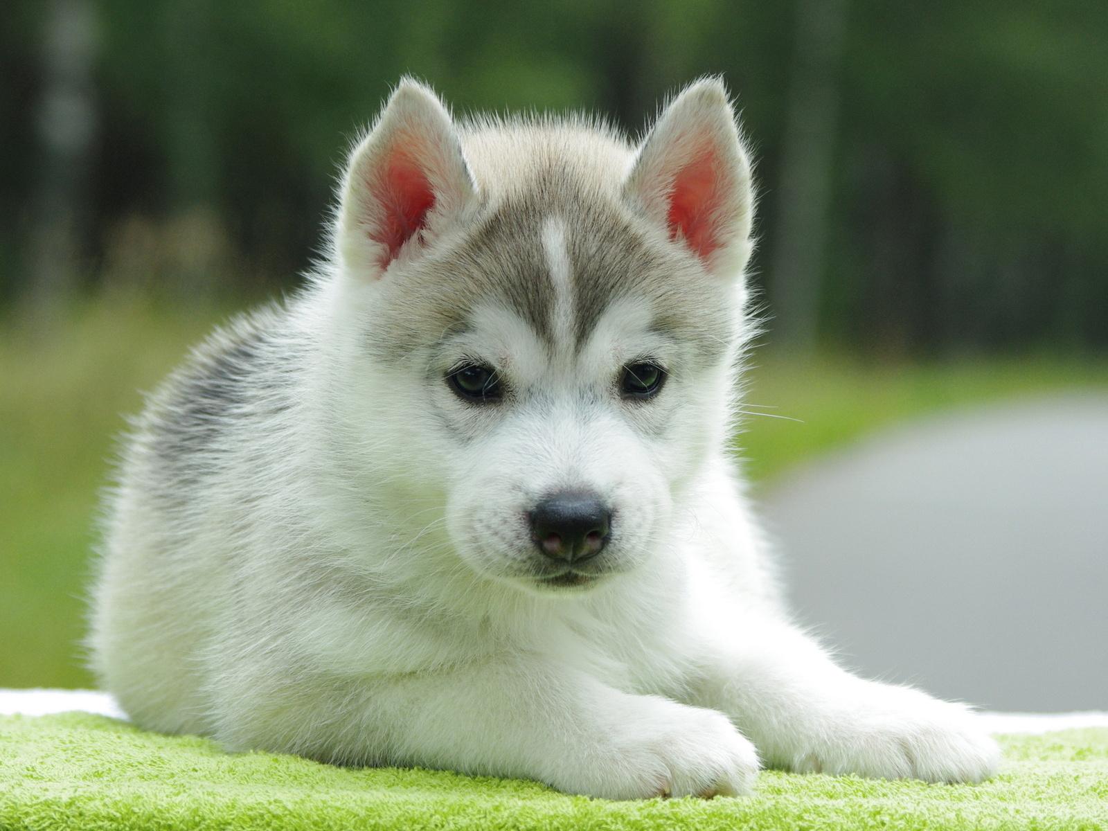 http://3.bp.blogspot.com/-gjQzCAlRxoE/US4ikGr9qmI/AAAAAAAADq0/mENxnJNJTmo/s1600/fotos-de-perros-cachorro-acostado-sobre-una-alfombra-verde.jpg