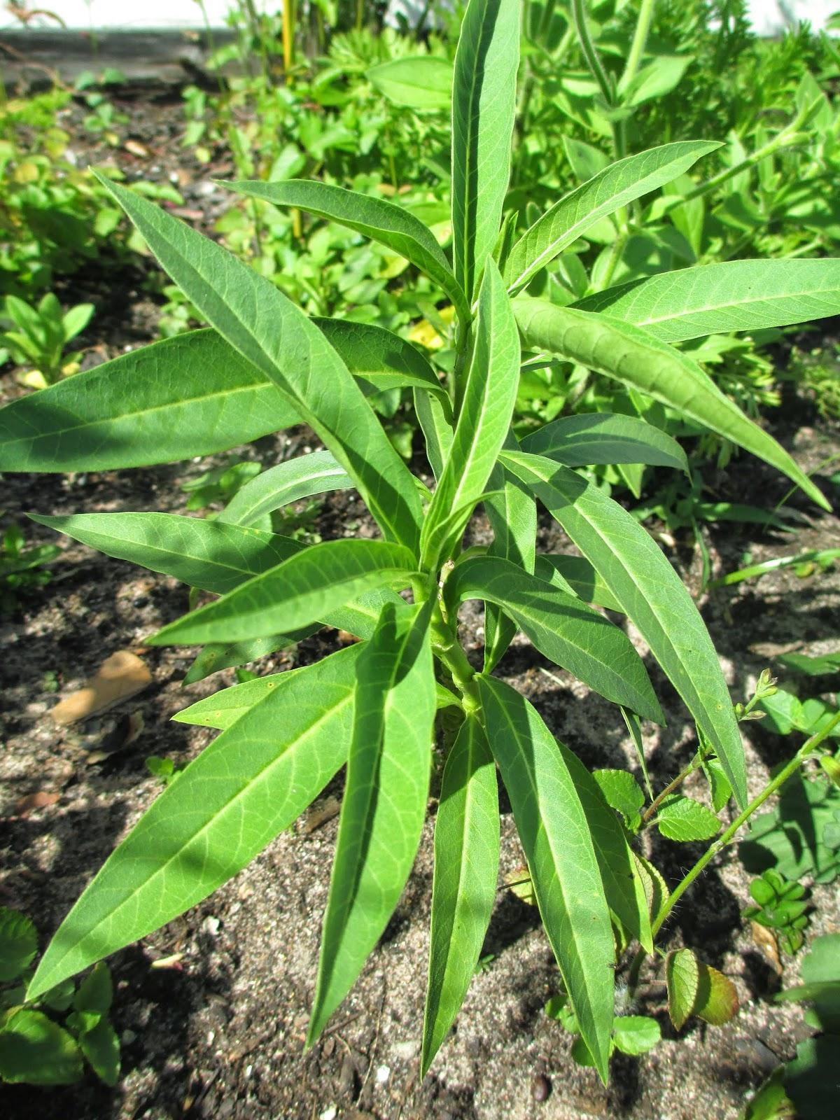 maple hill 101  plant profile