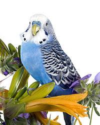 звуки волнистых попугаев слушать