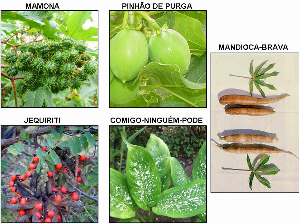 Prandel 39 s page biologia as cinco plantas extremamente venenosas encontradas no brasil - Plantas ornamentales venenosas ...