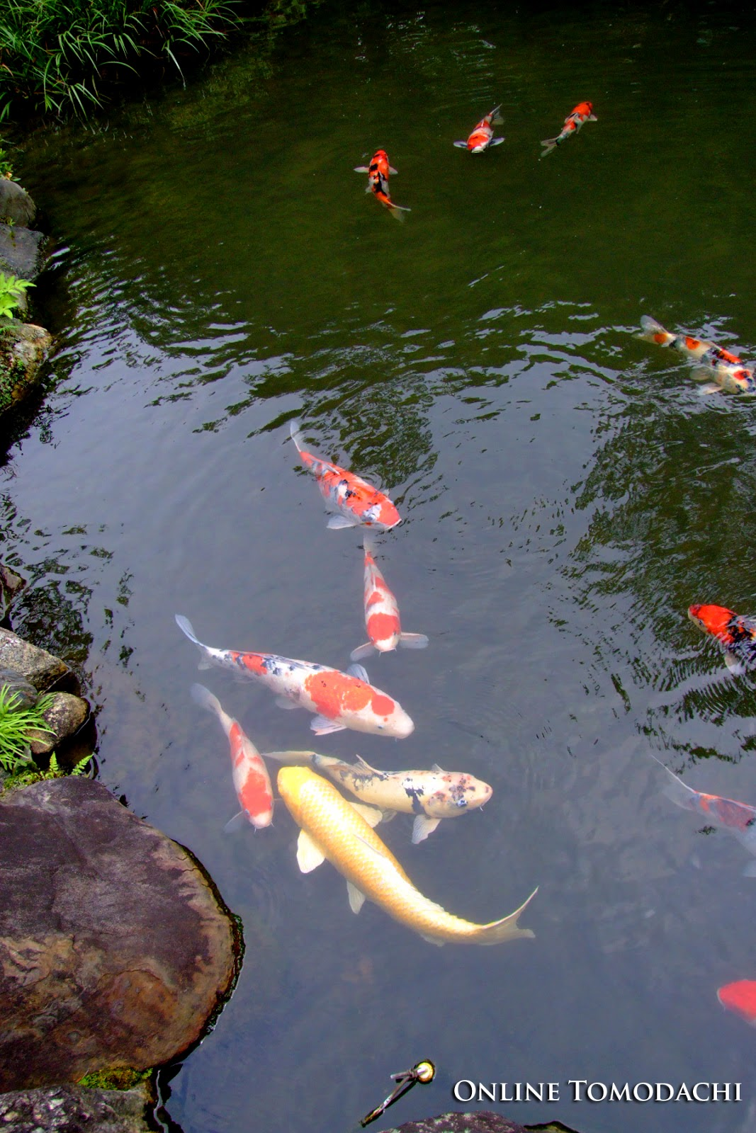 Online tomodachi japanese koi for Japanese koi