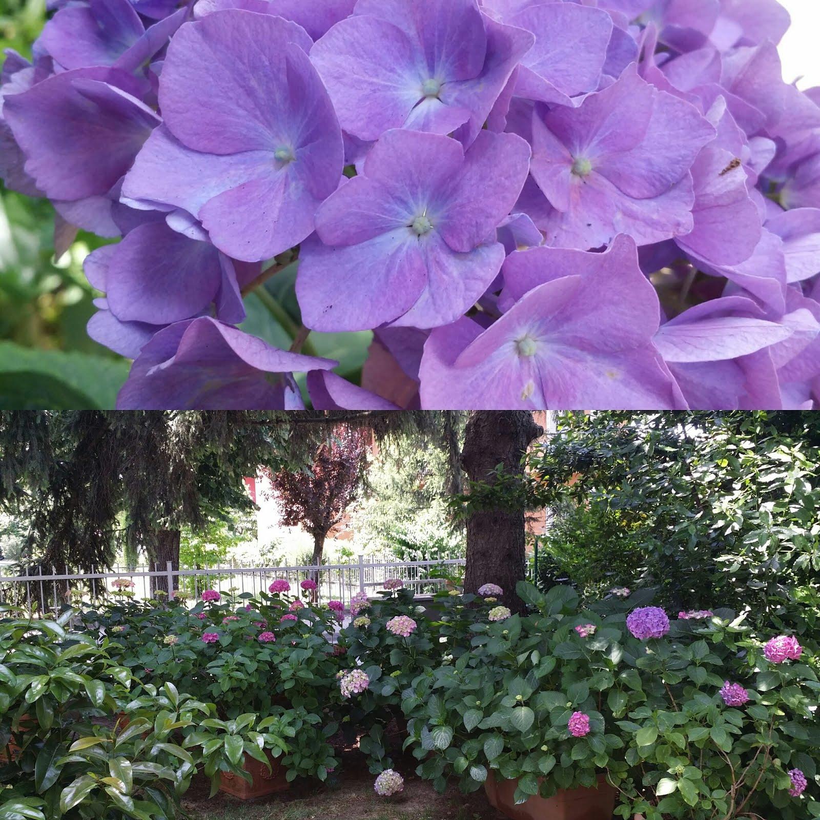 Summer Hydrangeas....