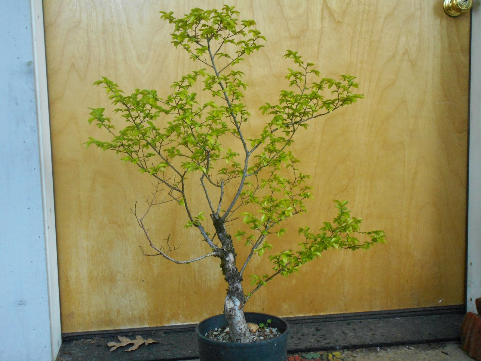 Plants And Mycology Yeah Bonsai Trimming Chinese Elm