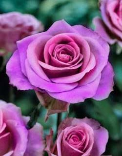 Flower Delivery For Lavender Roses
